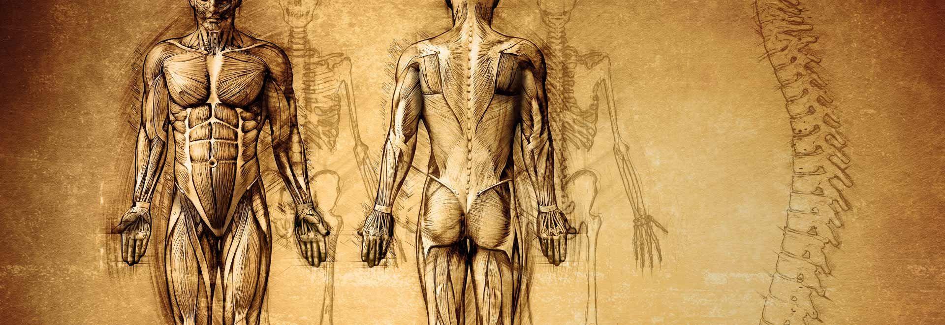 Zeichnung der Muskulatur des Menschen