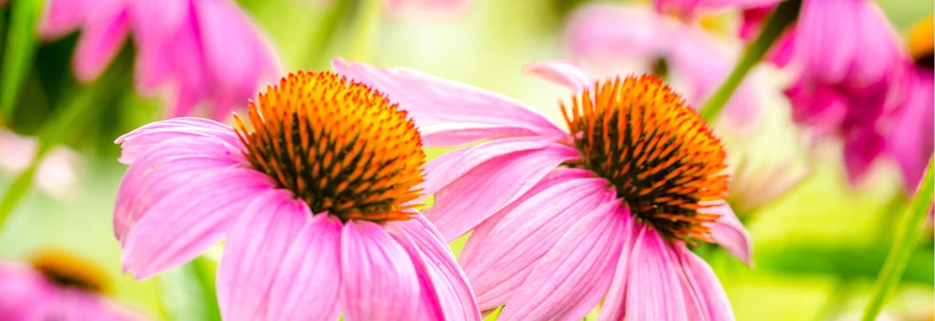 Heilpflanzen in der Naturheilkunde gezielt anwenden