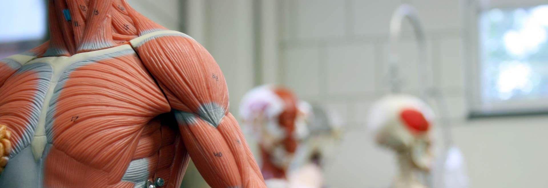 Anatomischer Aufbau des menschlichen Körpers