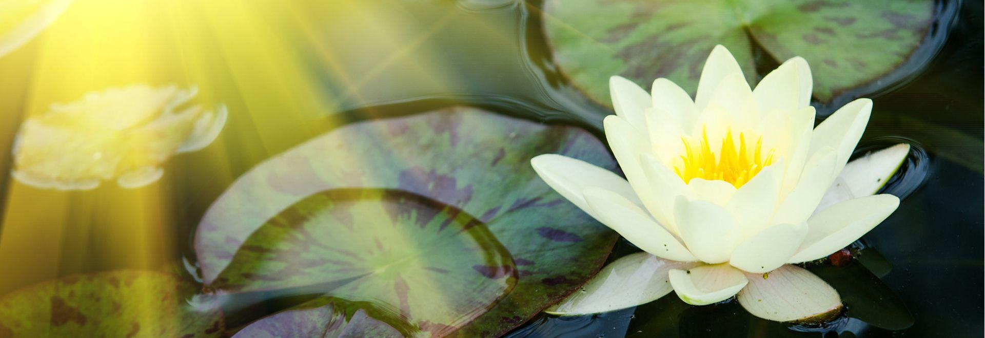 Lotusblüten - die Verbindung zu Wasser und Beauty