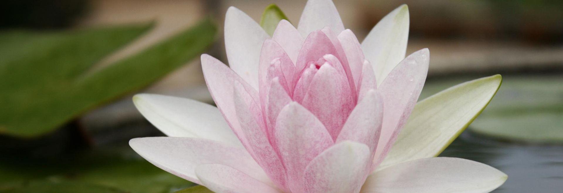 Lotusblüten sind in vielfältigen Farbgebungen zu finden.